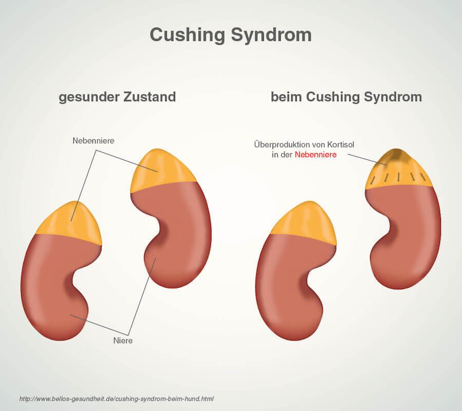 Cushing Syndrom Hund