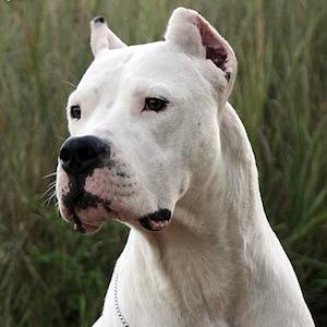 Argentinische Doge