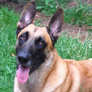 Koda The Malinois On Instagram Another Tbt His Mask And