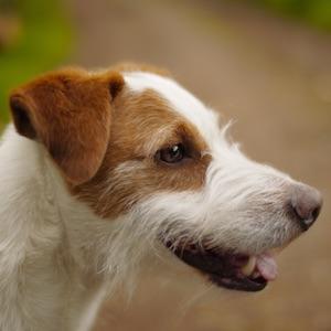 Der Jack Russell Terrier • Wesen, Ansprüche, Gesundheit & mehr
